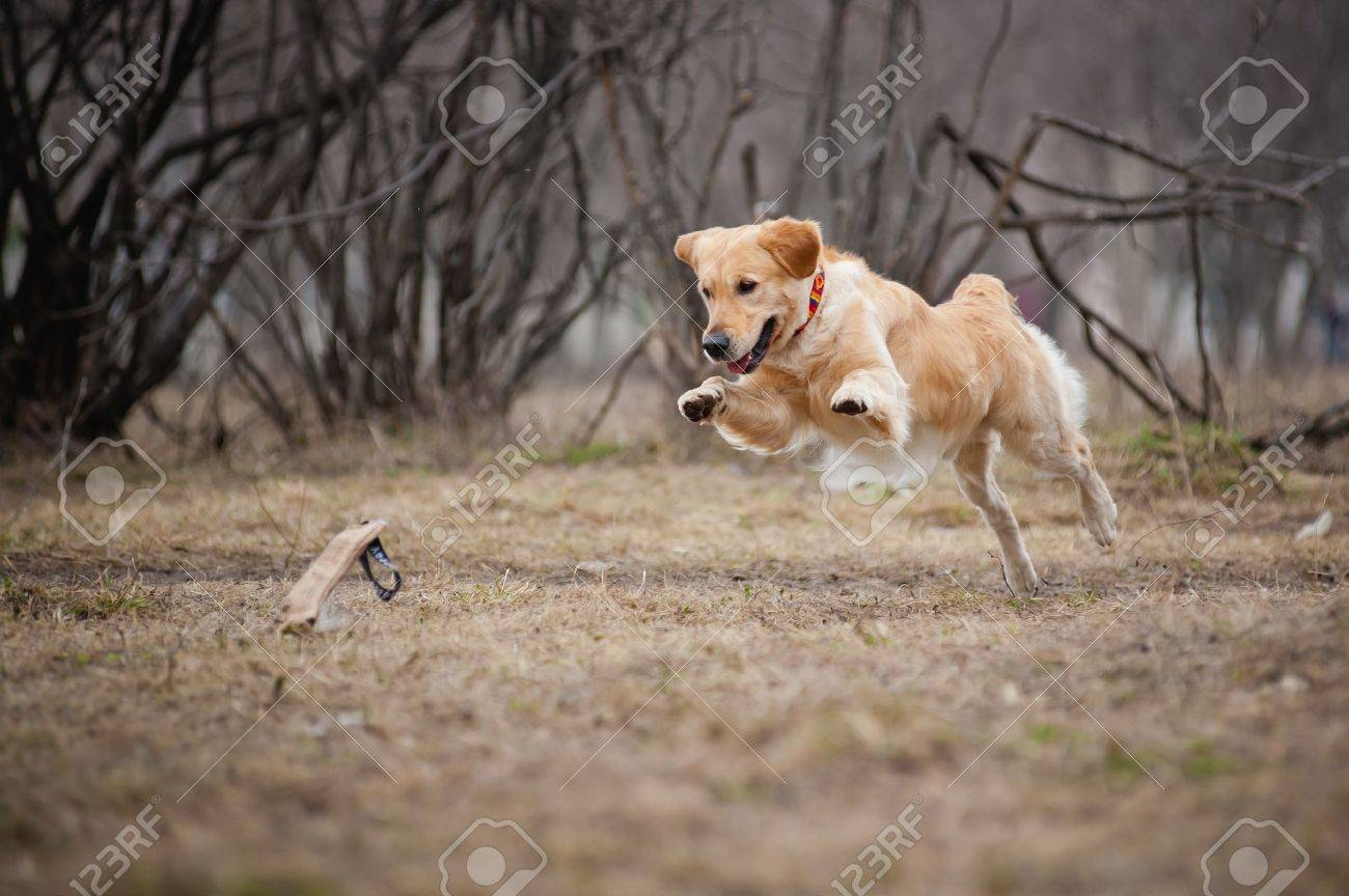 cute funny golden Retriever dog playing with a toy Stock Photo - 18452257