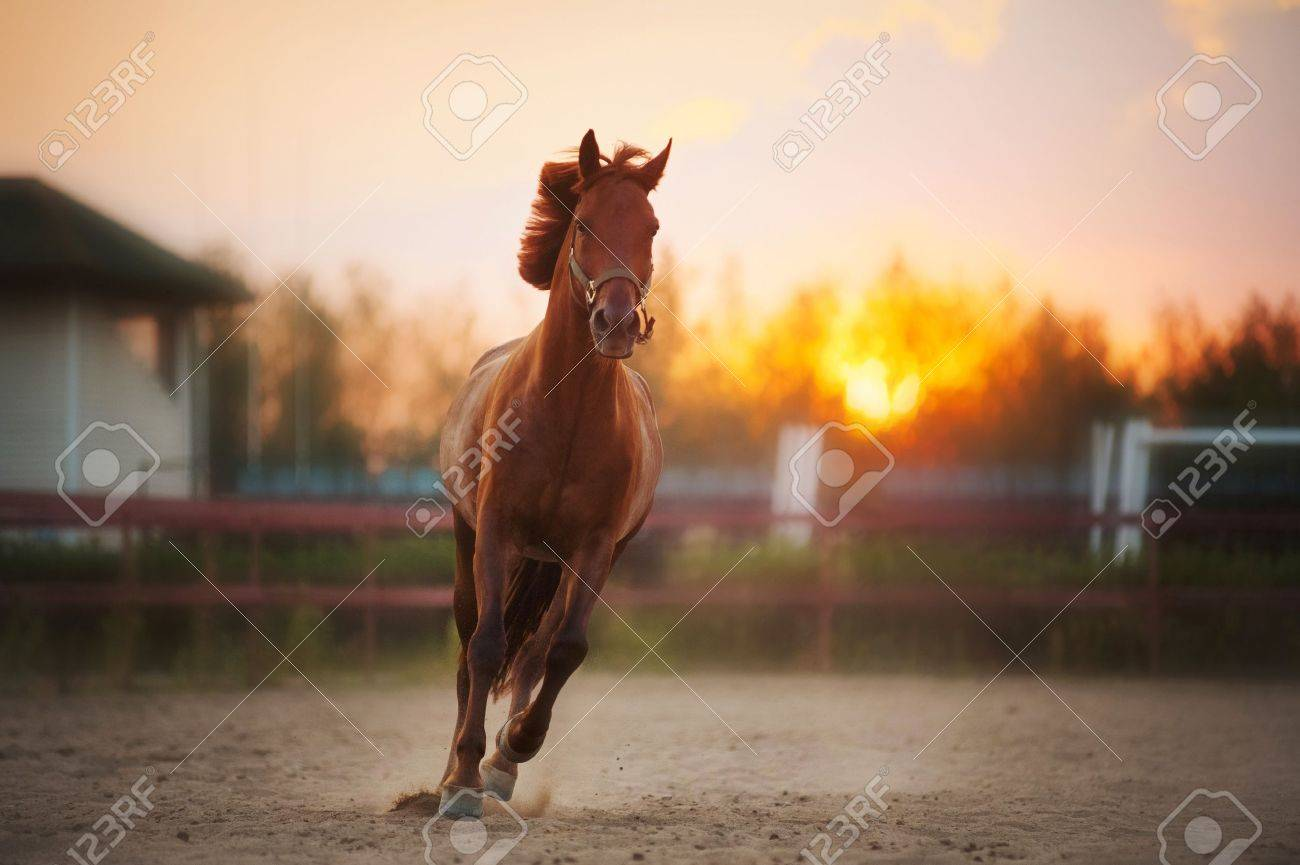 Beautiful Brown Horse Running In The Paddock At Sunset Stock Photo Picture And Royalty Free Image Image 19354382