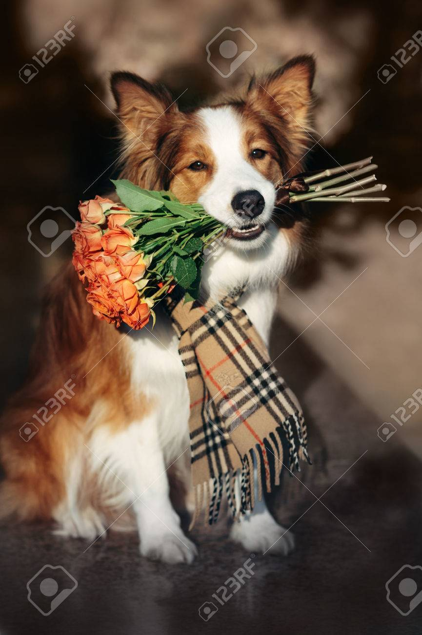 Red Border Collie Dog Holding A Bouquet Of Flowers In The Autumn
