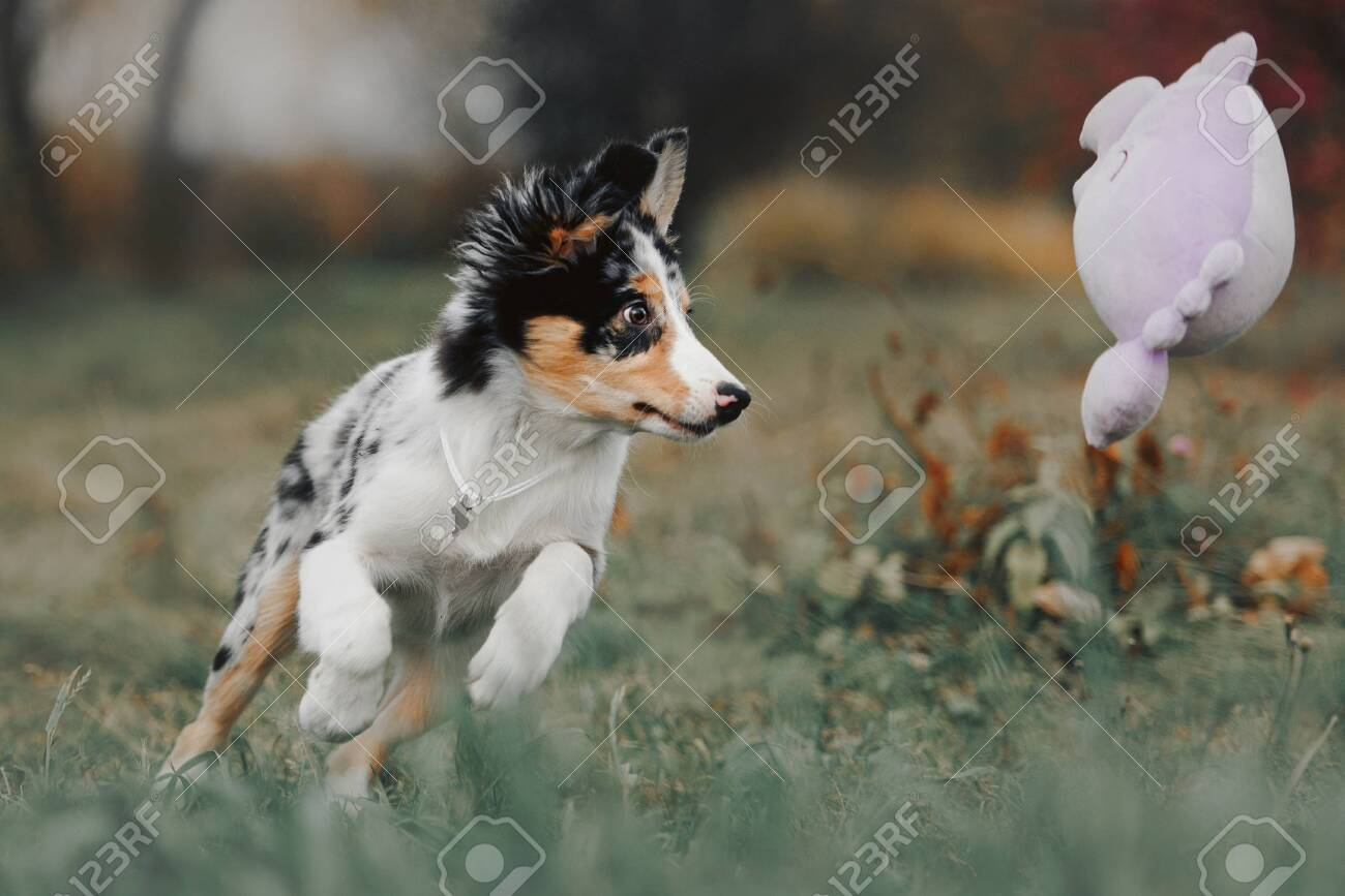 Cute Border Collie Puppy Playing With A Toy Outdoors Stock Photo Picture And Royalty Free Image Image 148258546