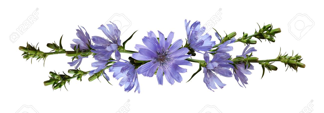 Chicory Flowers In A Line Arrangement Isolated On White Stock Photo