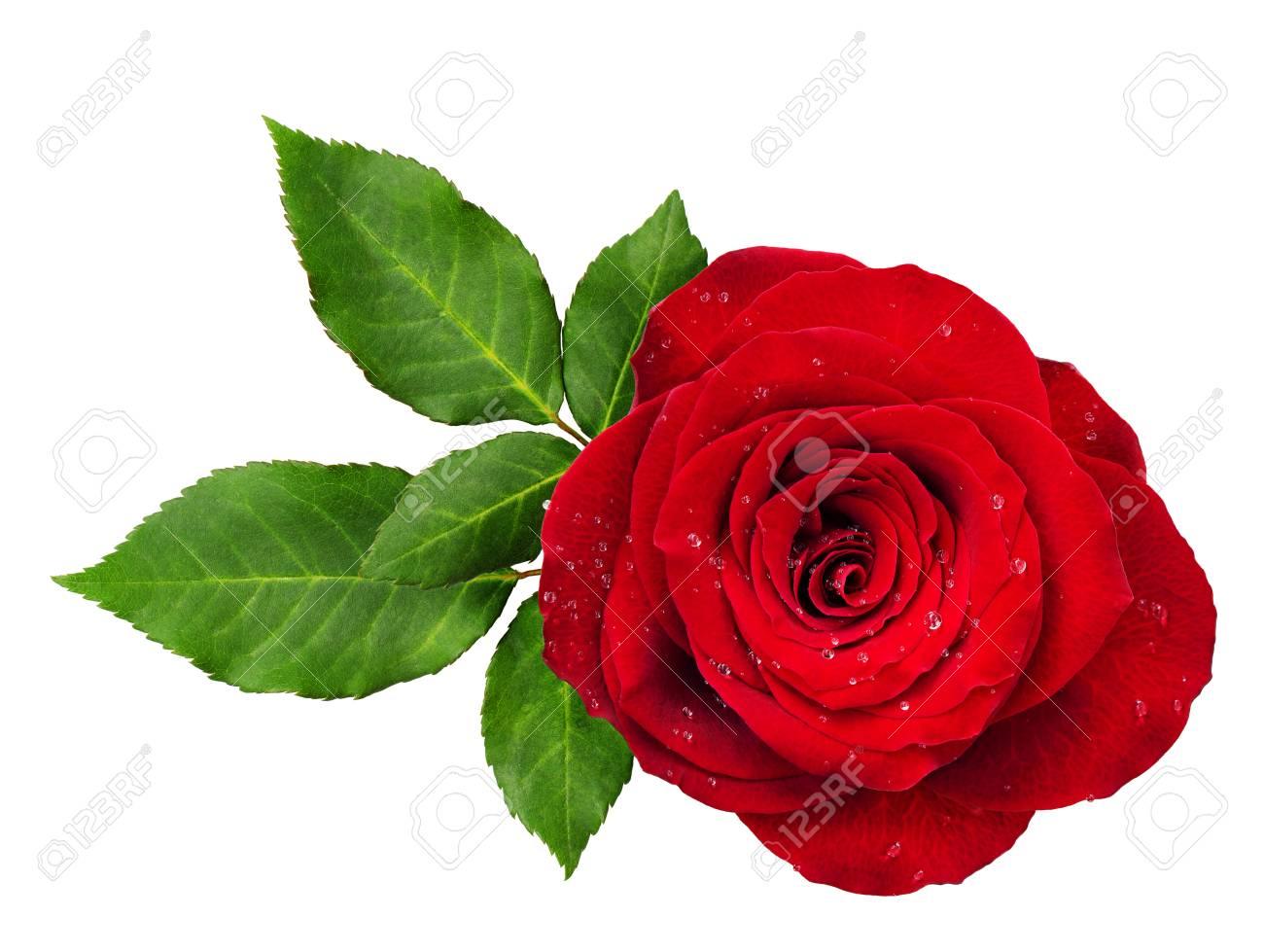 Rosette De Fleur Rose Rouge Avec Des Feuilles Isole Sur Blanc Vue