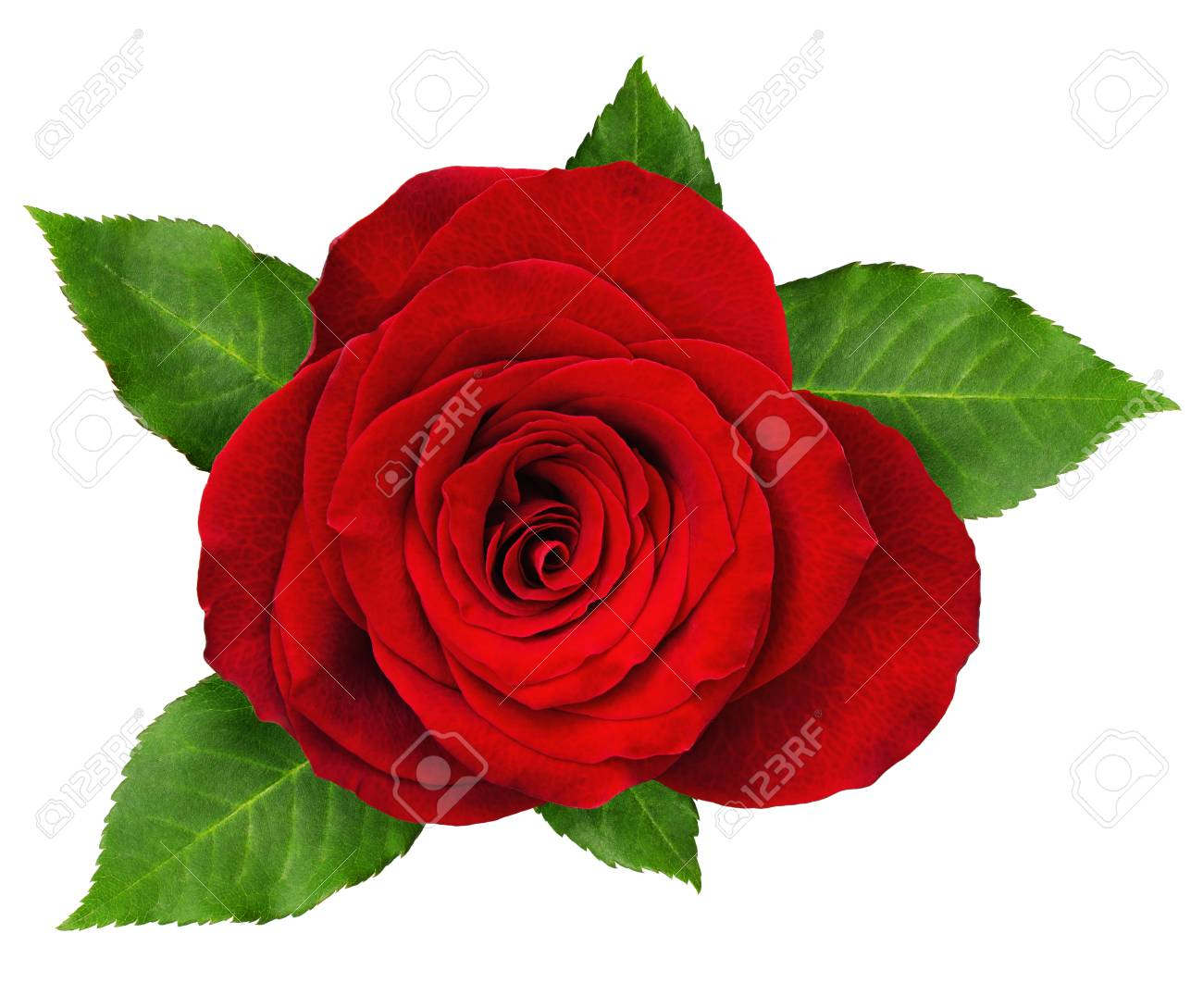 Red Rose Flower Rosette With Leaves Isolated On White Top View Stock Photo Picture And Royalty Free Image Image 80922433