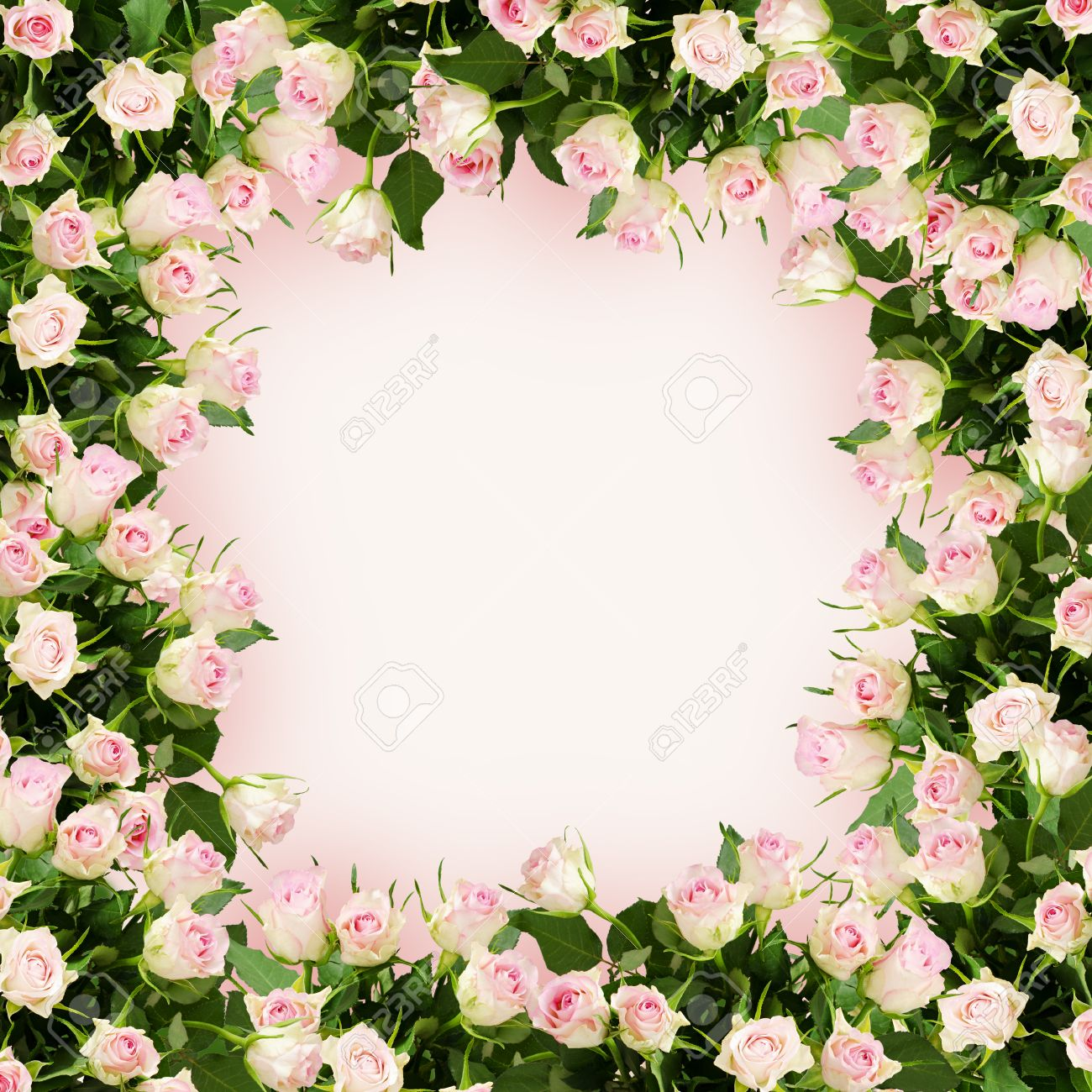 Beautiful White And Pink Rose Flowers Frame On Pink Background Stock ...