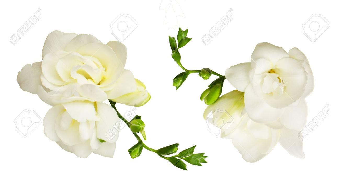 Set of white freesia flowers isolated on white background top set of white freesia flowers isolated on white background top view stock photo mightylinksfo