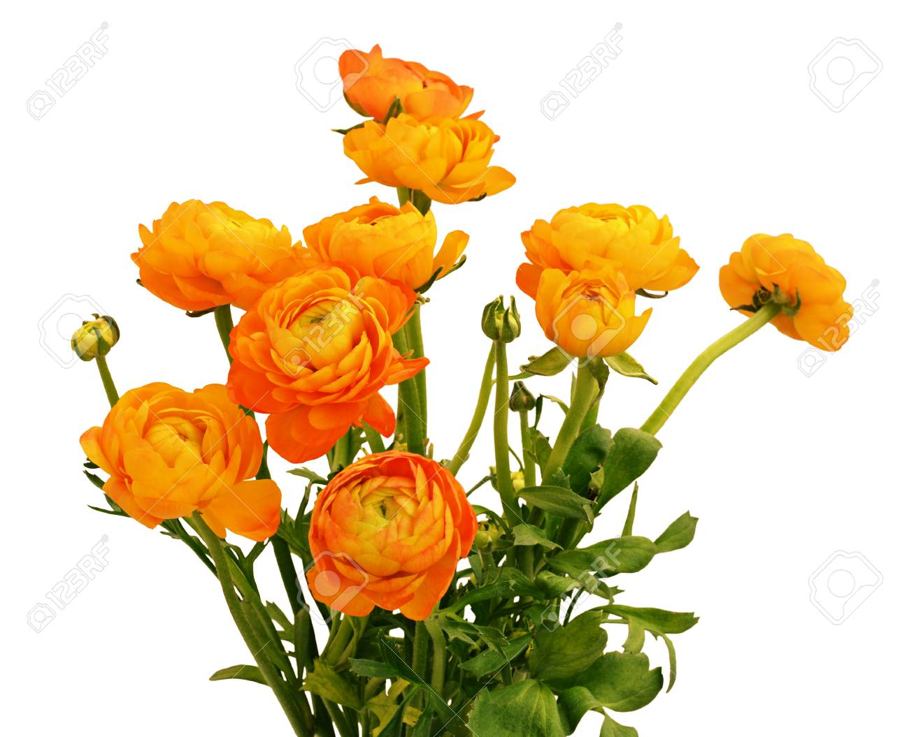 Orange Ranunculus Flowers Bouquet Isolated On White Background Stock Photo Picture And Royalty Free Image Image 92041766