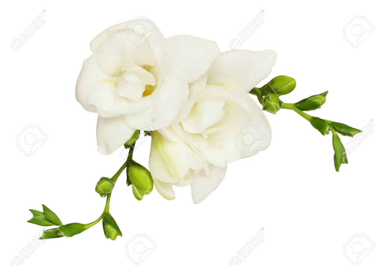 White Freesia Flower And Buds Isolated On White Top View Stock Photo Picture And Royalty Free Image Image 126522945