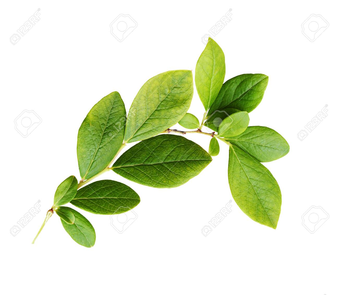 Green leaves of blueberry isolated on white - 141621699