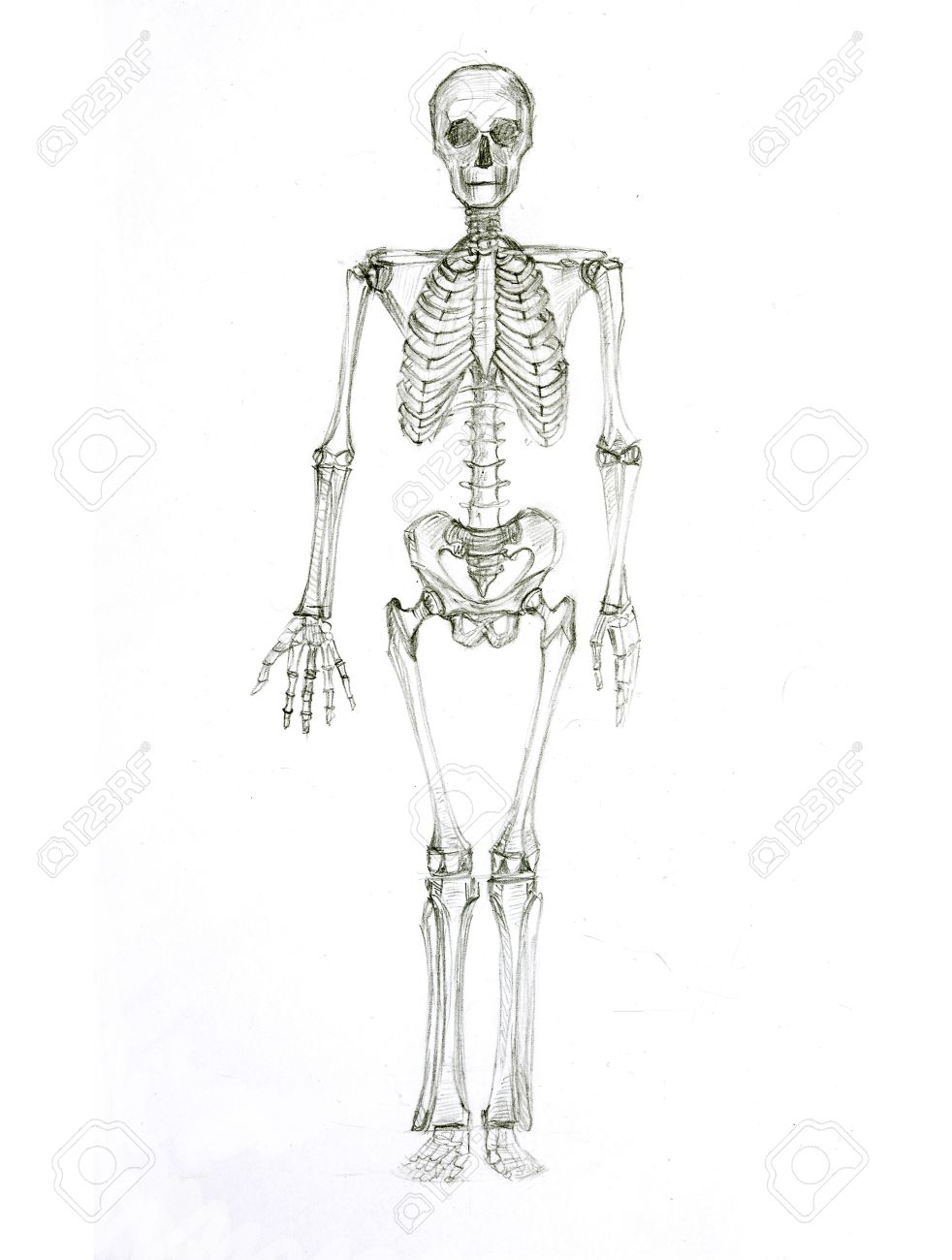 Pencil Sketch A Skeleton Stock Photo, Picture And Royalty Free Image ...