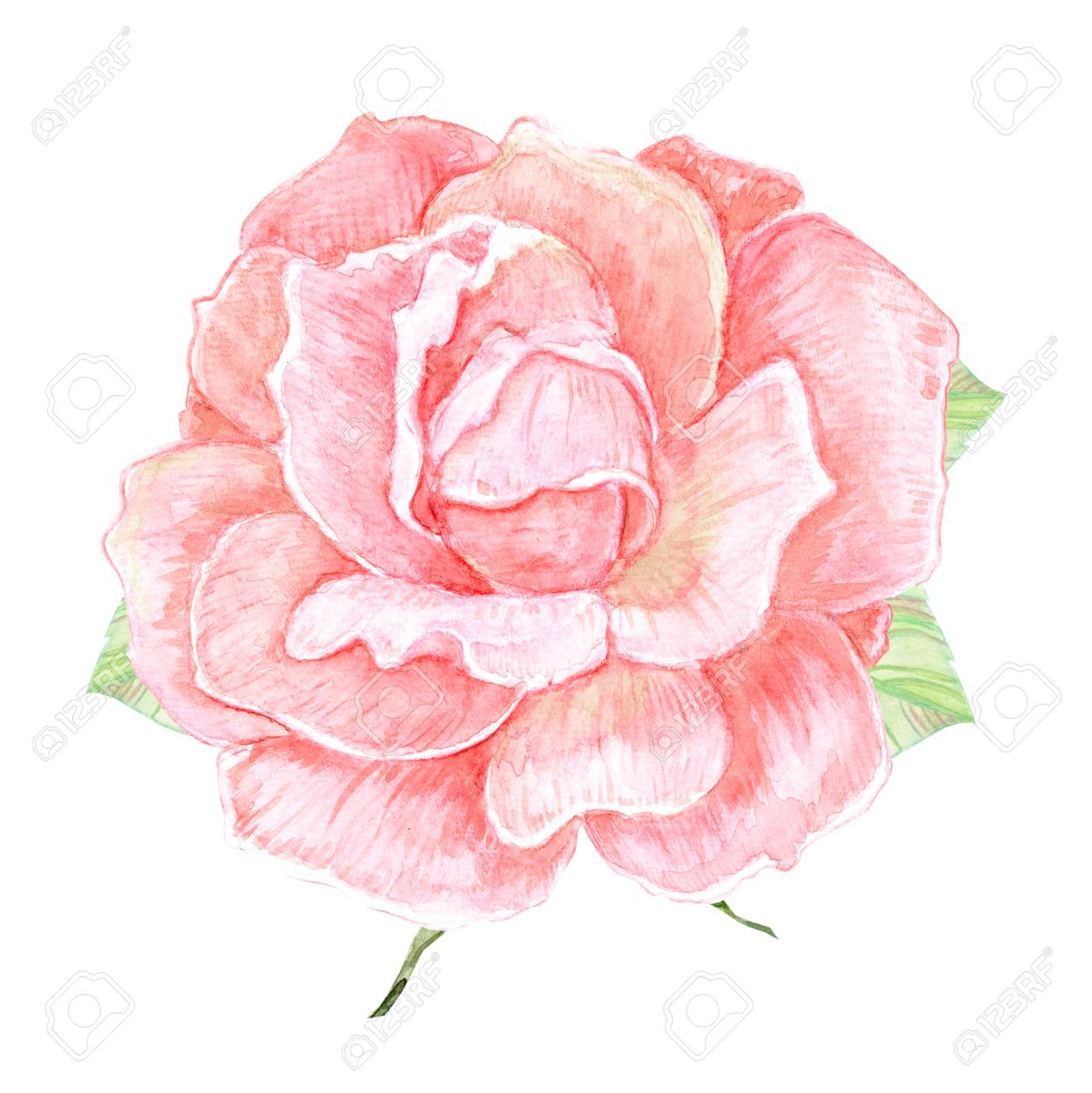 cute rose flower on white background. watercolor painting Stock Photo - 65325517