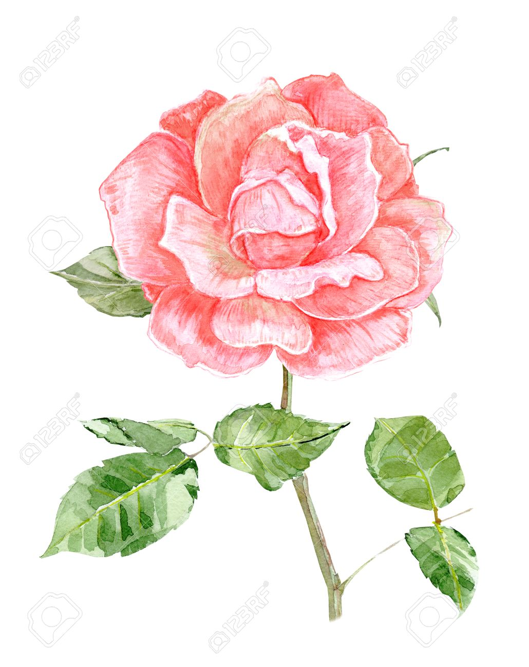 Pink Rose Flower For Your Design Watercolor Painting Stock Photo