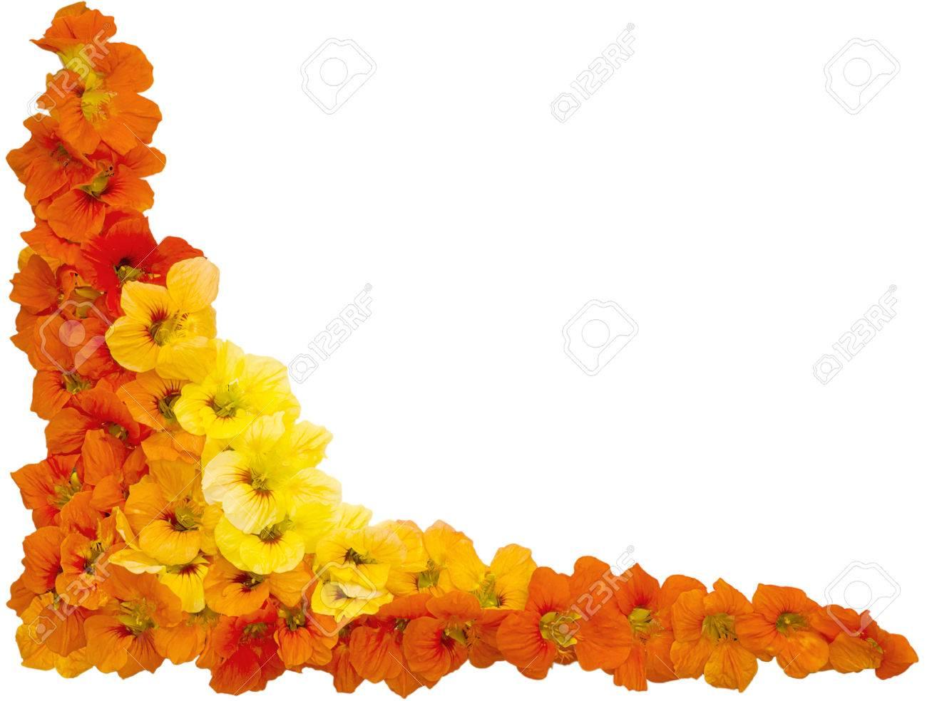 Fleurs De Capucine Couleurs Orange Et Jaune Isolé Sur Fond Blanc