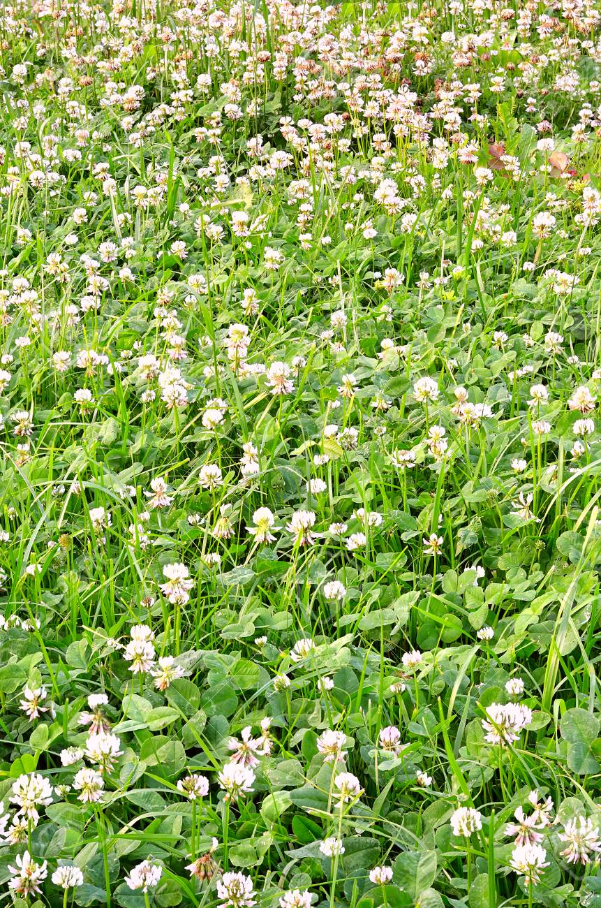 A Carpet Of Young Green Clover With White Flowers In Spring On