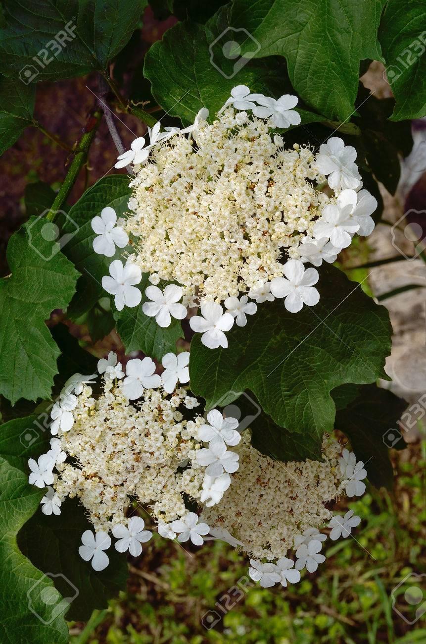 Three Inflorescences Of Viburnum Flowers In White And Cream Color