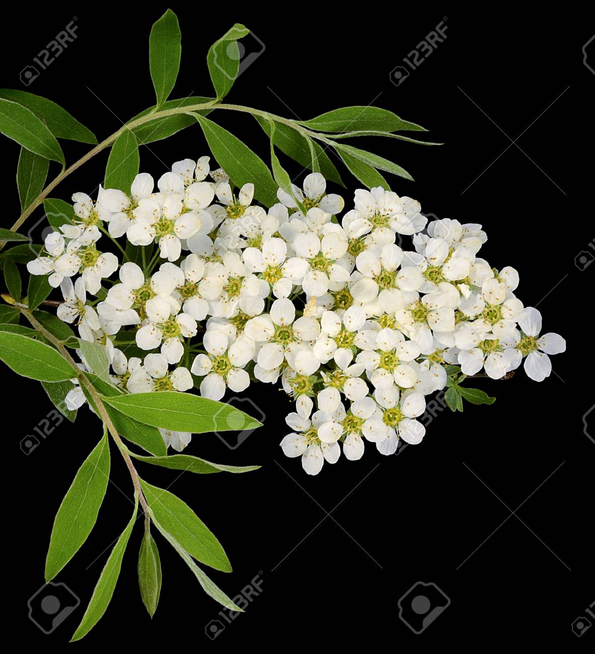 One Small Branch Of A Bush Of Spirea In Spring With Flowers Of