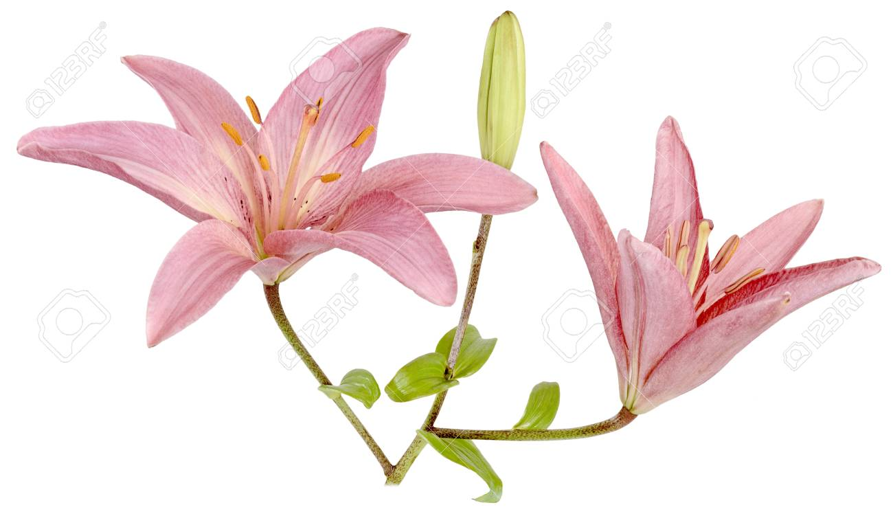 Three Bright Yellow Pink Flower Lilies Two Flowing One Is Not