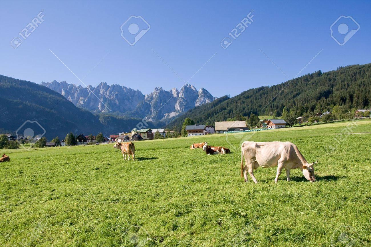 grazing cows on alpine pasture Stock Photo - 3713405