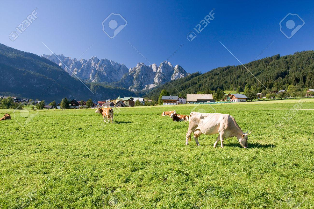 grazing cows on alpine pasture Stock Photo - 3880045