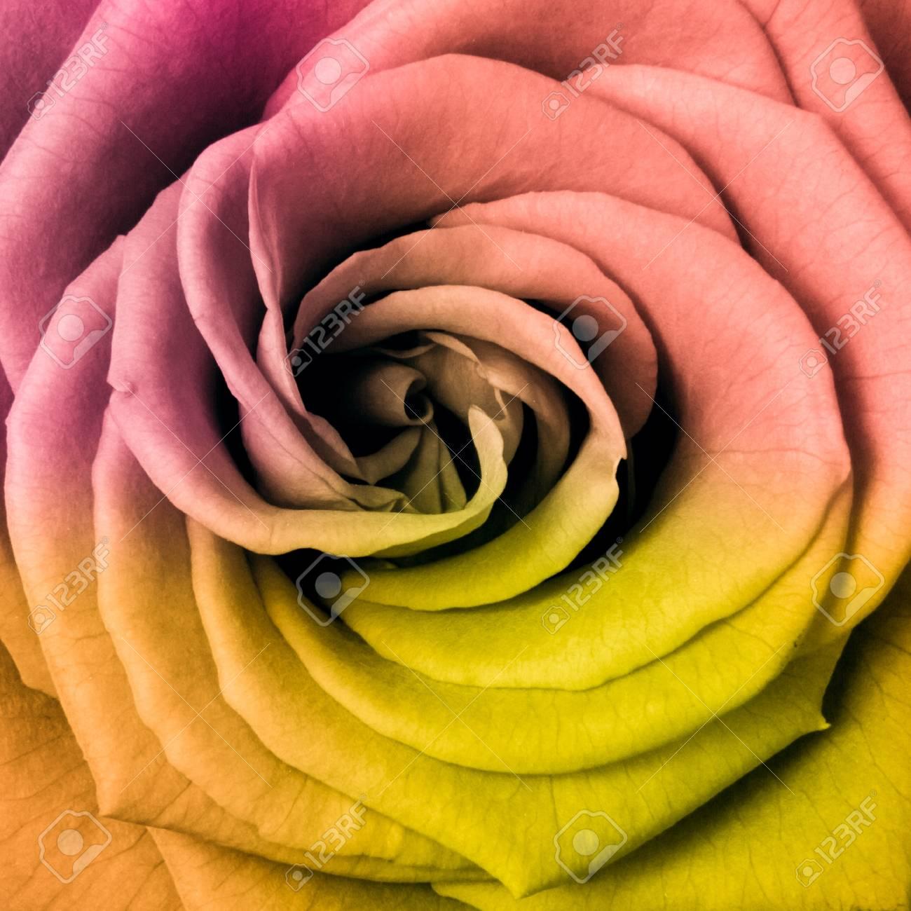 Pres De La Rose Multicolore Belle Banque D Images Et Photos Libres
