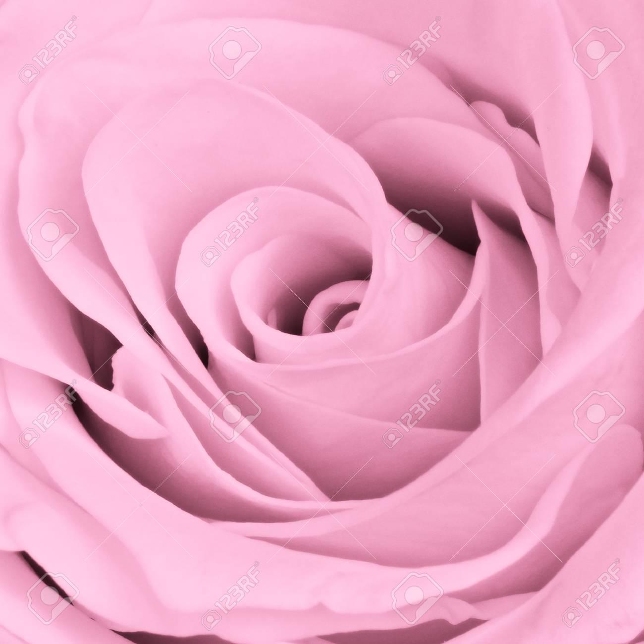 close up of pink rose petals Stock Photo - 13646675