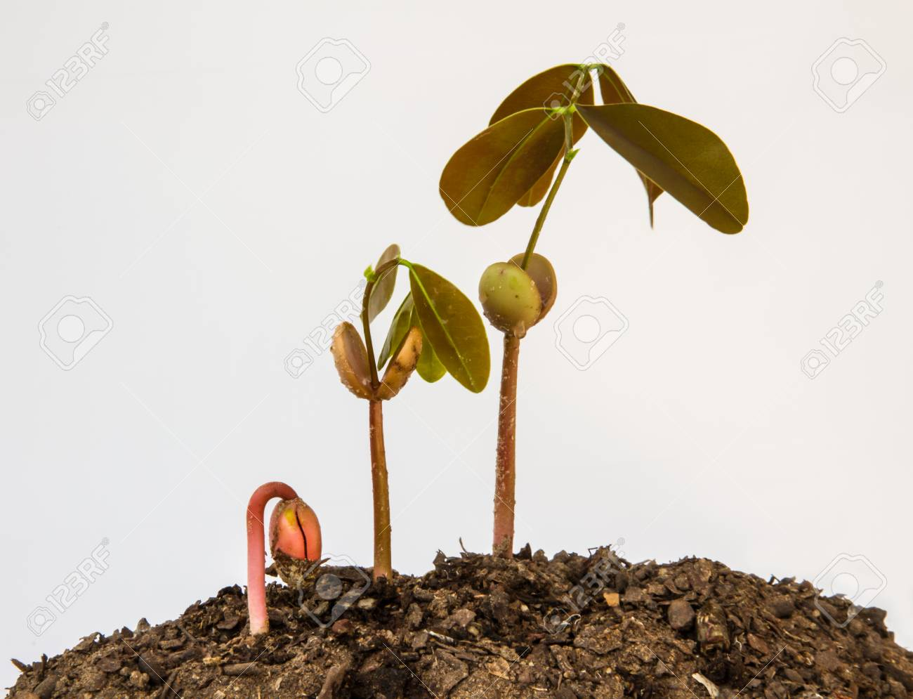step growing of plant seed Stock Photo - 23106376