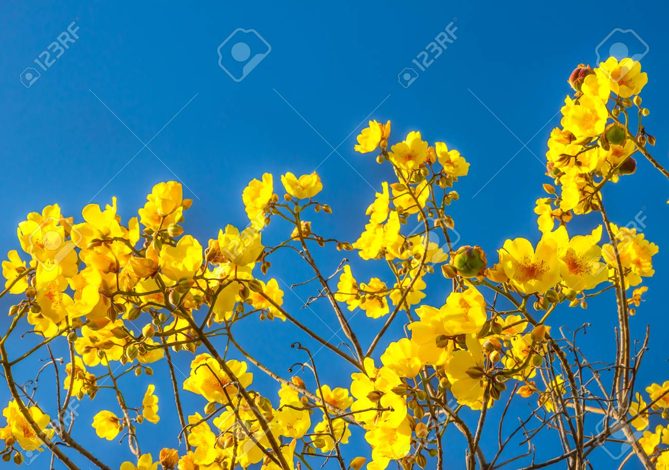 Yellow silk cotton butter cup torchwood or supannigarthai name stock photo yellow silk cotton butter cup torchwood or supannigarthai name are the most beautiful yellow flowers izmirmasajfo