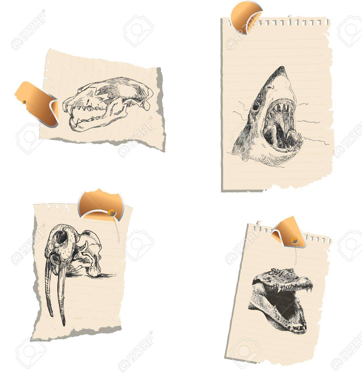 A series of bloodthirsty predators and their skulls Stock Vector - 14422771