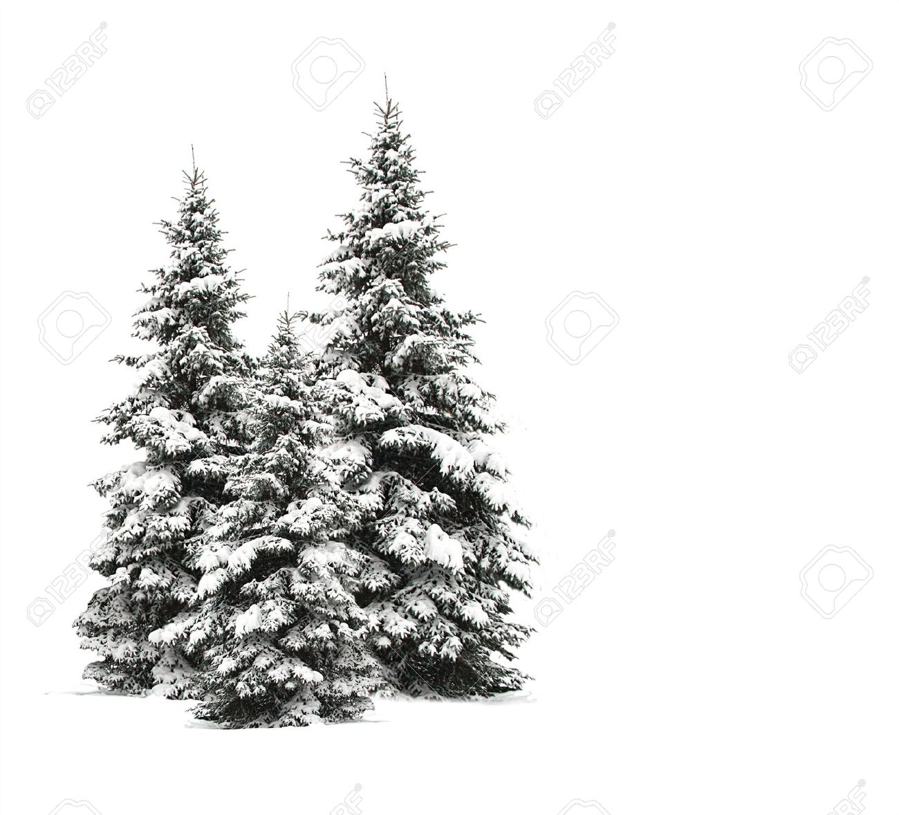 pine trees isolated on white stock photo picture and royalty free
