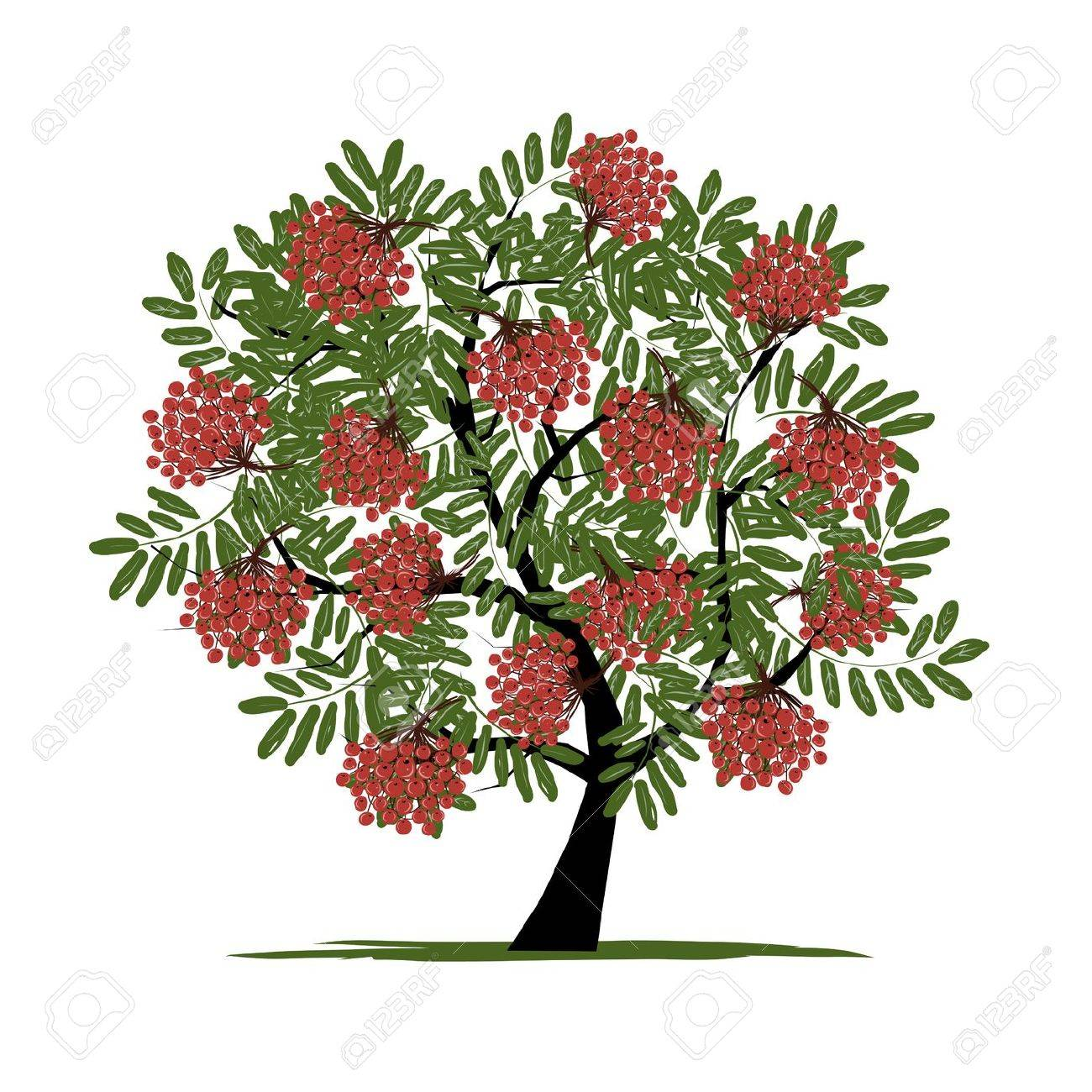 Rowan tree with berries for your design - 24753712