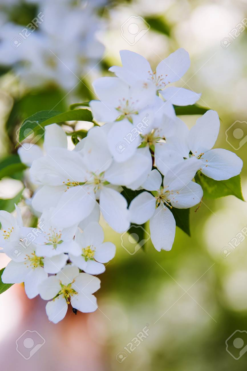 The blossoming apple tree white flowers in the spring stock photo stock photo the blossoming apple tree white flowers in the spring mightylinksfo
