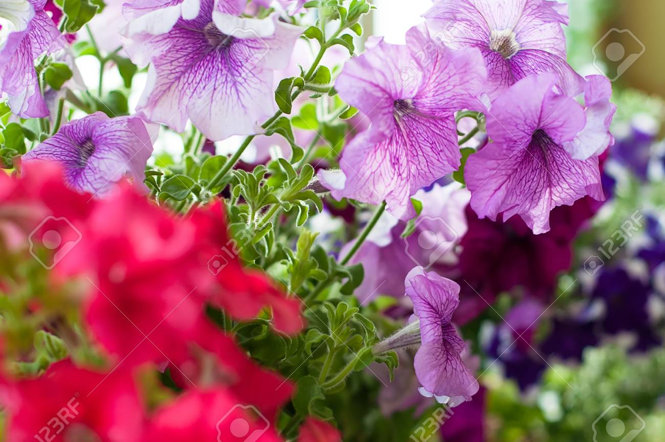 Beautiful Colored Petunia Flowers In The Garden Stock Photo, Picture ...