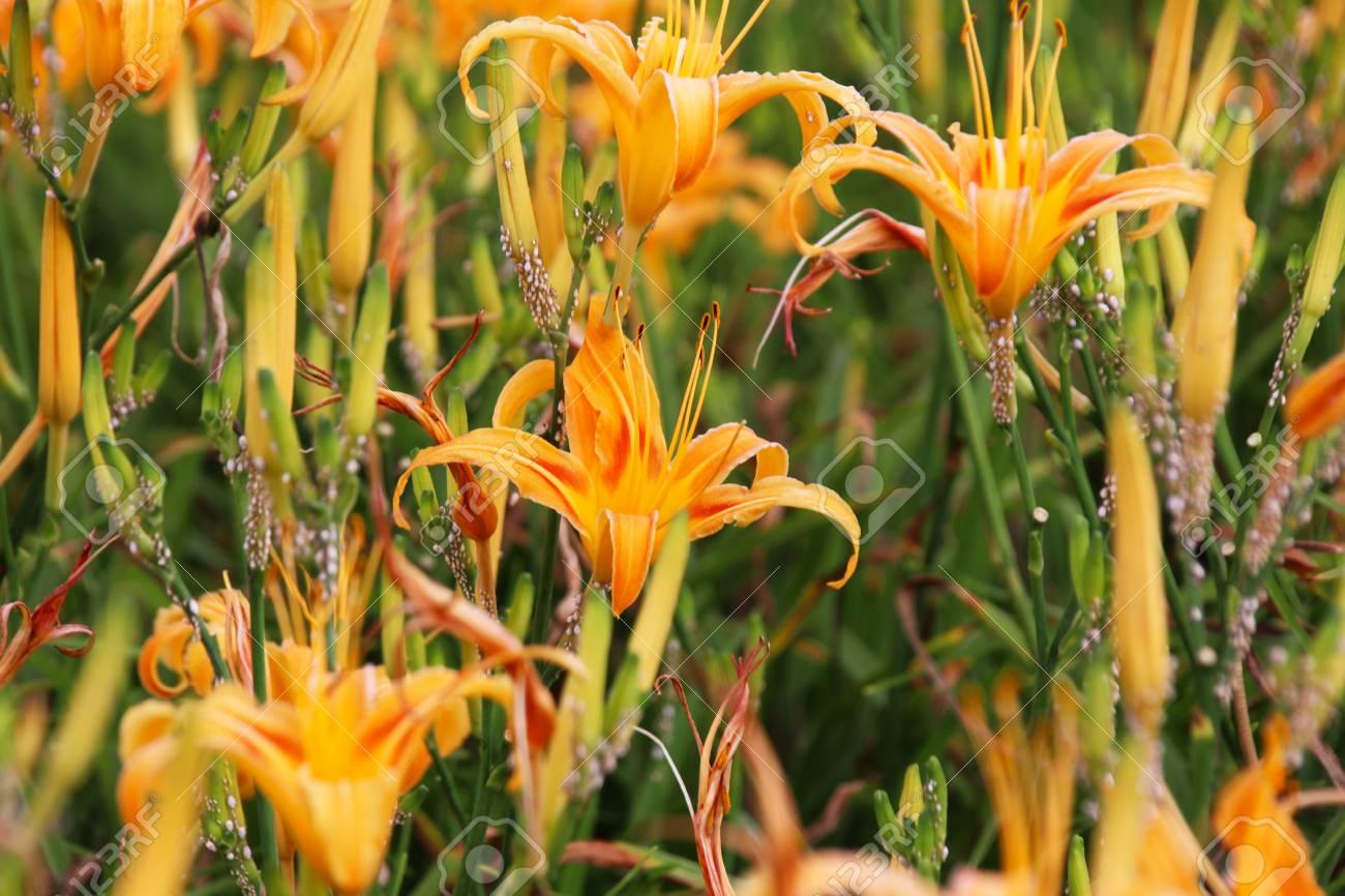 Beautiful scenery of daylily flowers with village and mountains beautiful scenery of daylily flowers with village and mountains in a sunny day stock photo izmirmasajfo