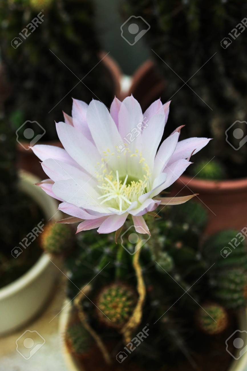 White Cactus Flower Stock Photo Picture And Royalty Free Image