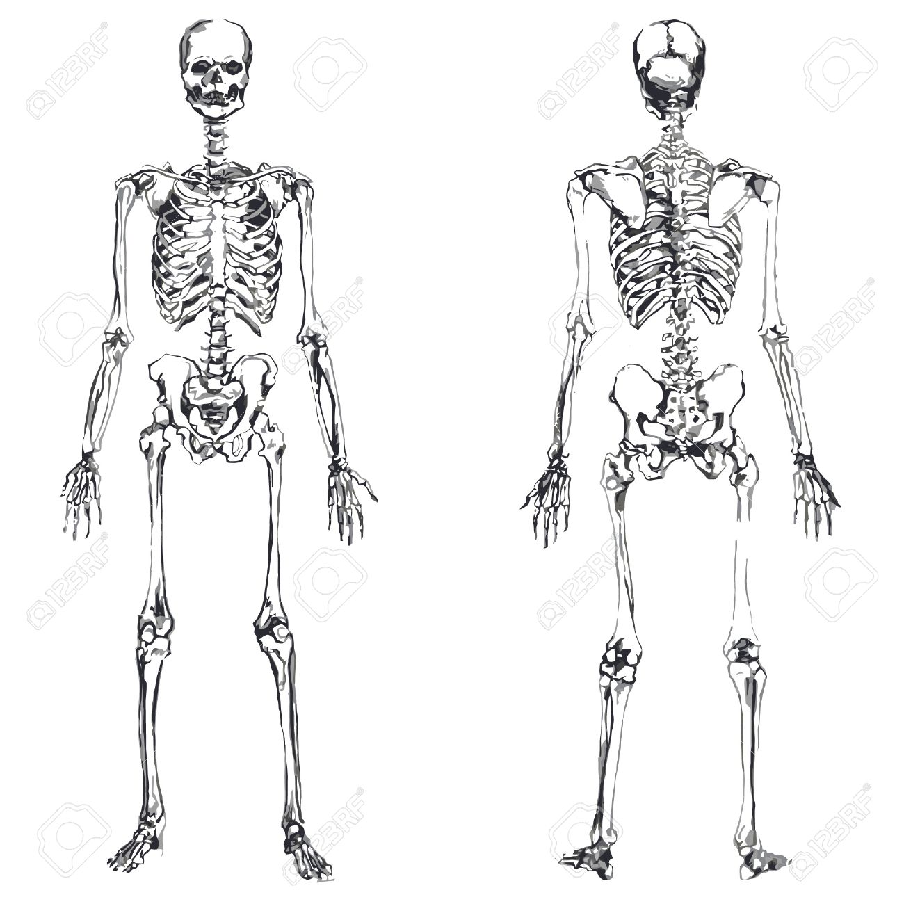 front and back skeleton isolated over white background royalty, Skeleton