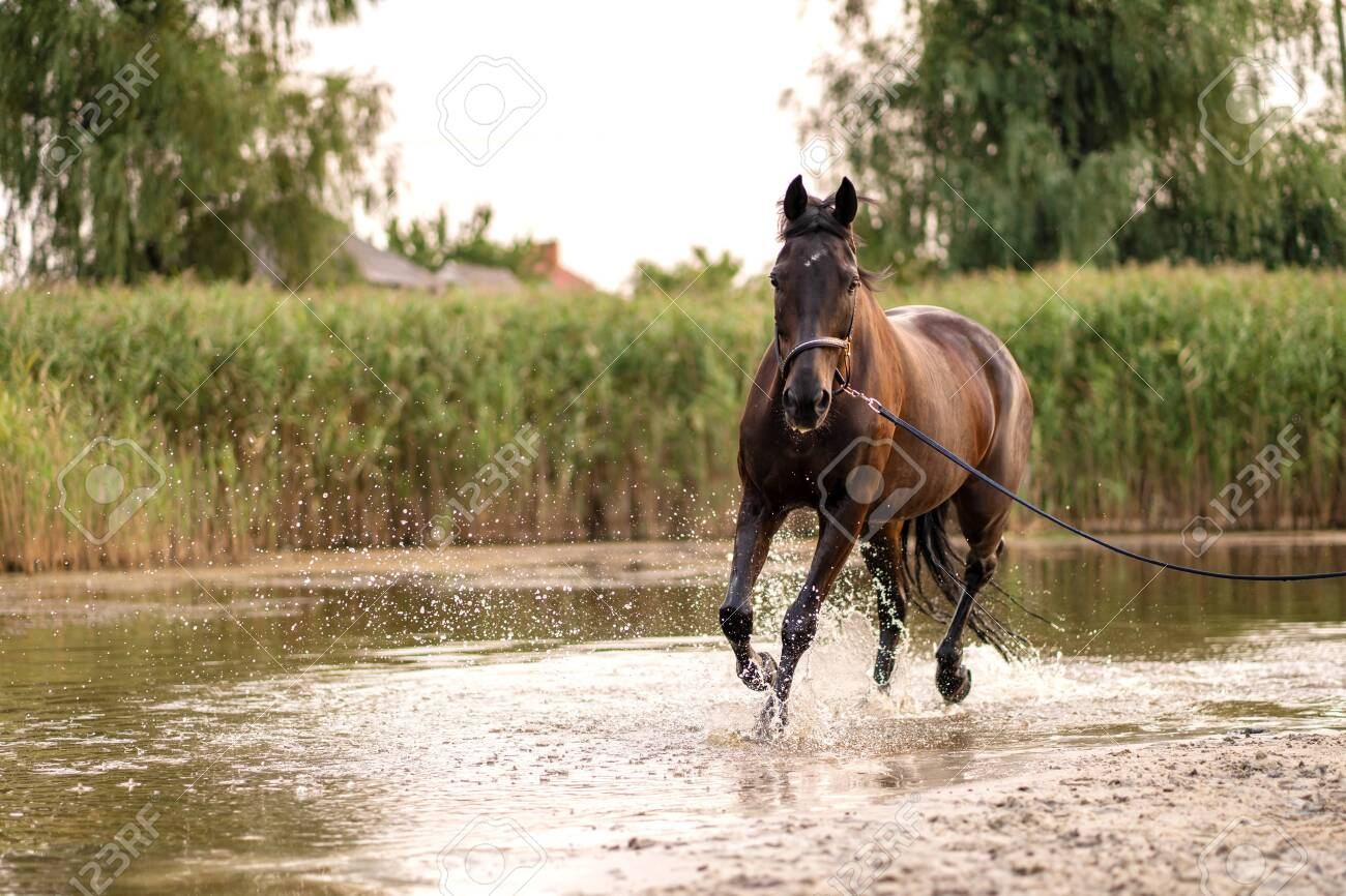 Beautiful well-groomed dark horse for a walk by the lake. A horse runs on water. Strength and Beauty. - 133385039