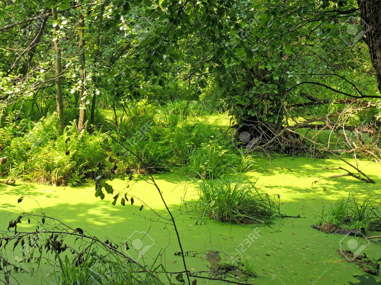 A Freshwater Swamp In The Forest Stock Photo, Picture And Royalty ...