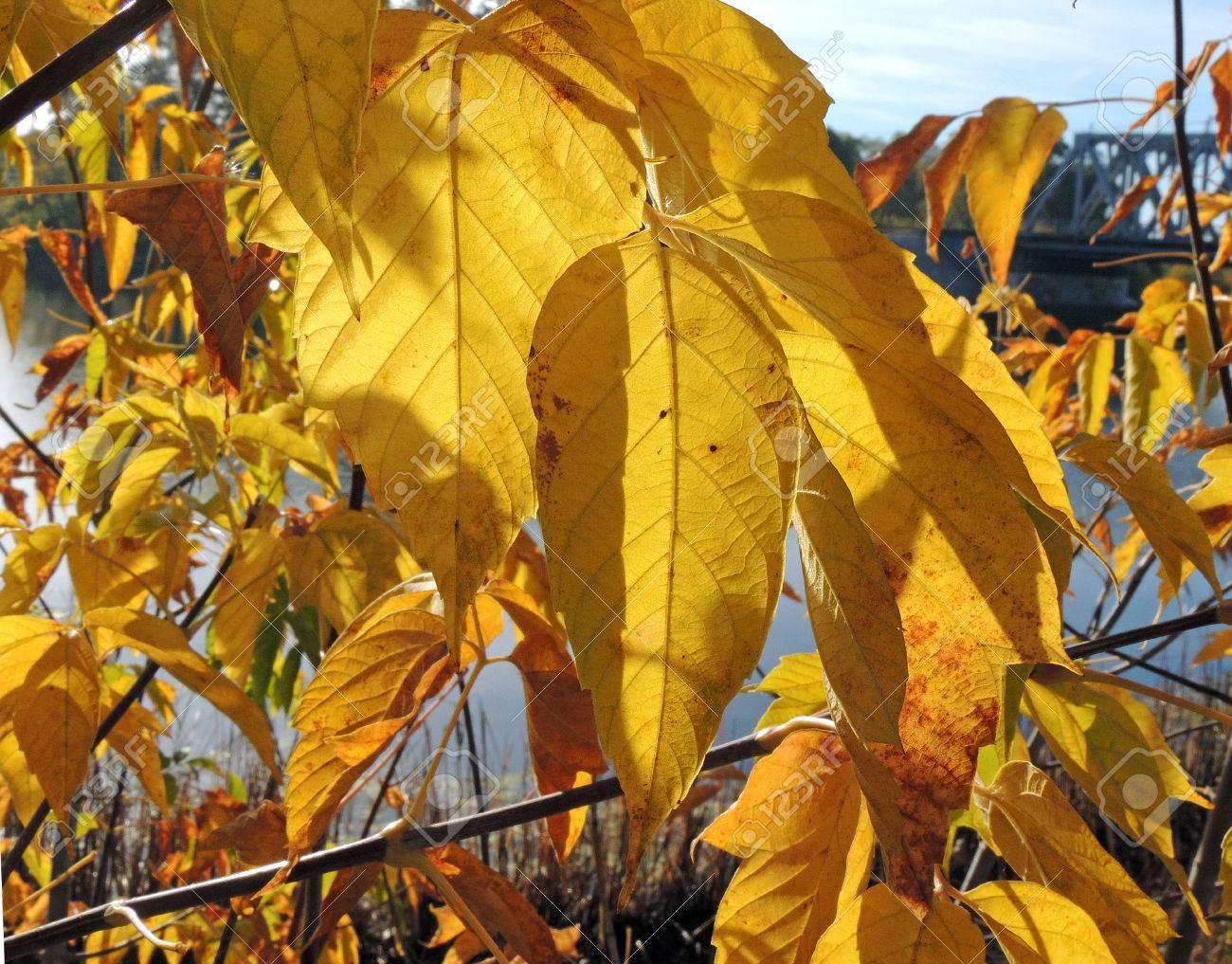 Autumnal Foliage Of Box Elder Or Boxelder Maple Or Ash Leaved