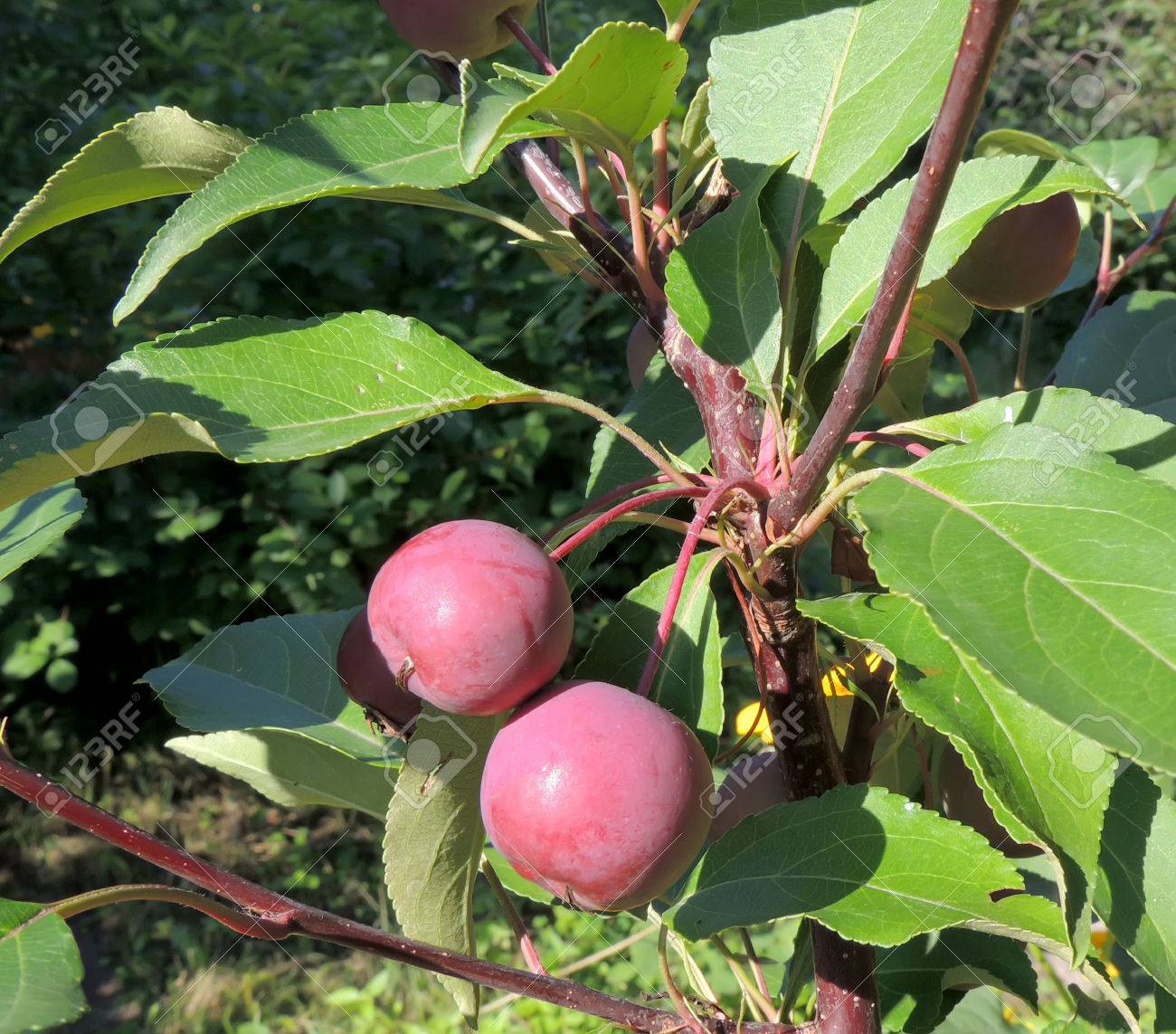 Fruits Of Plumleaf Crab Apple Or Crabapple Tree Or Plum Leaved