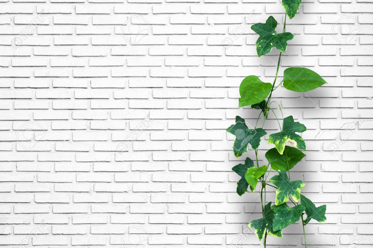 Climber Plant With White Brick Wall Background Stock Photo Picture And Royalty Free Image Image 44877605