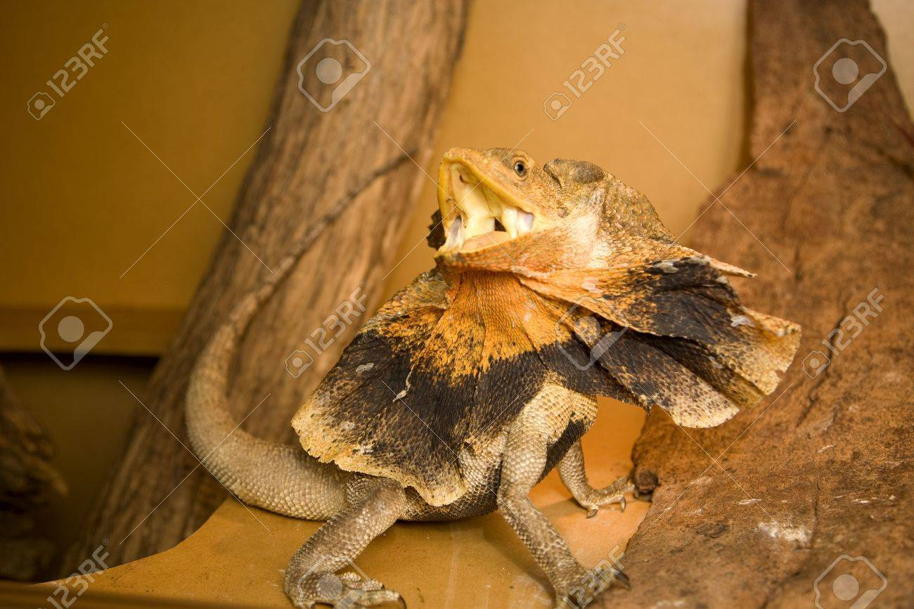 frill neck lizard in a defensive pose, slightly motion blured due to lizards fast movement Stock Photo - 6548044