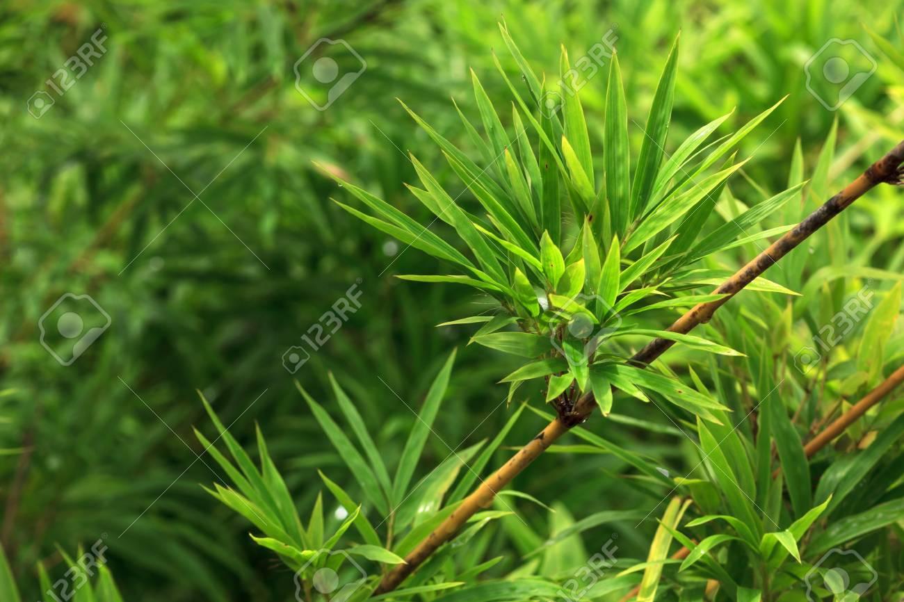 Immagini Stock Il Feaf Bambù Su Sfondo Verde Natura è Image 21749295