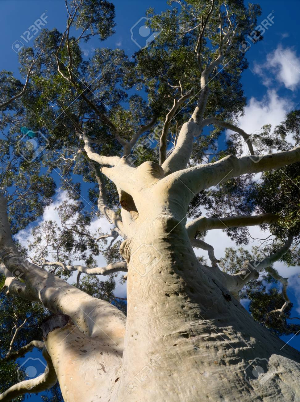 gum tree looking up at nice blue sky Stock Photo - 21633536