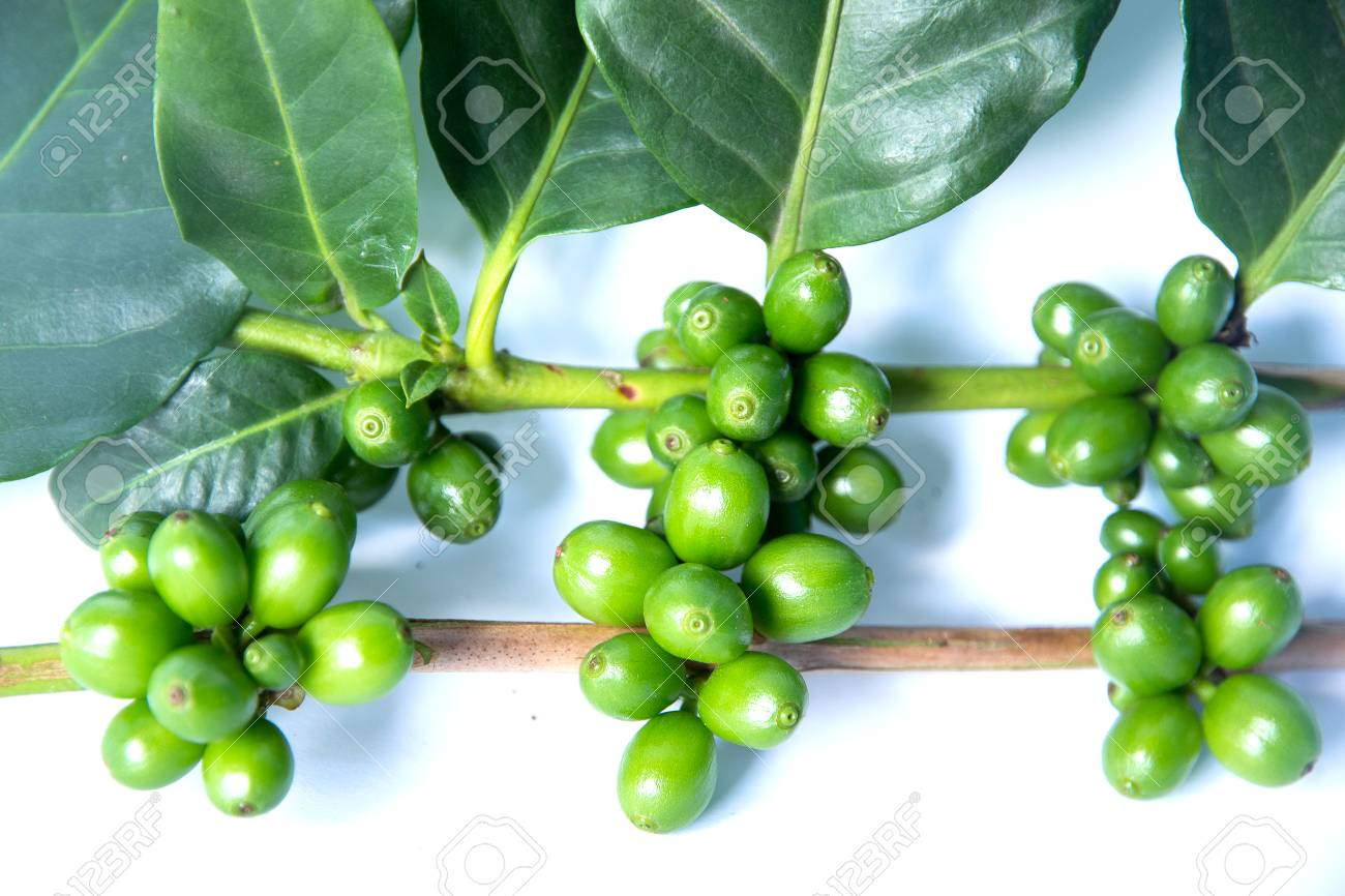 Coffee Tree With Green Coffee Beans On The Branch Stock Photo