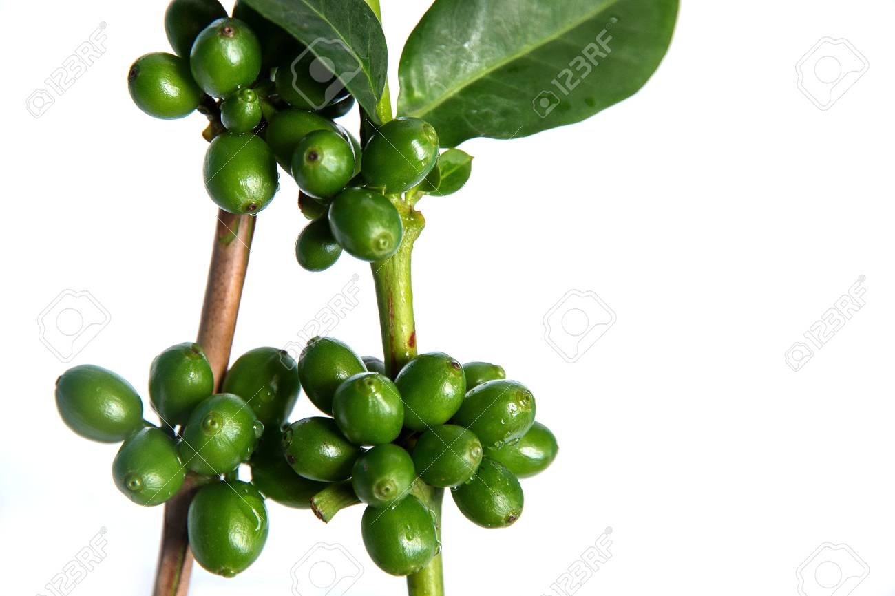 Coffee Tree With Green Coffee Beans On The Branch On White