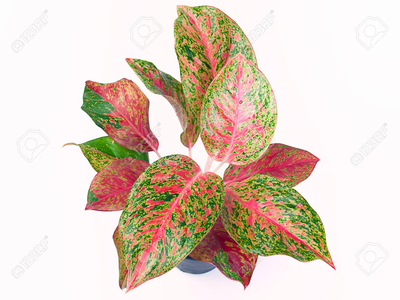 Top View Queen Of The Leafy Plants Scientific Name Is Caladium
