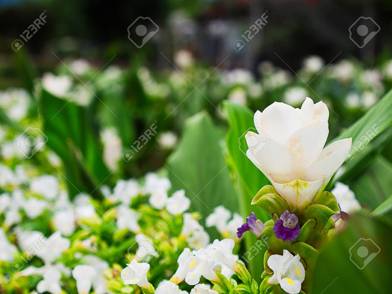 Siam tulip flowerbeautiful nature for add text or design stock siam tulip flowerbeautiful nature for add text or design stock photo izmirmasajfo