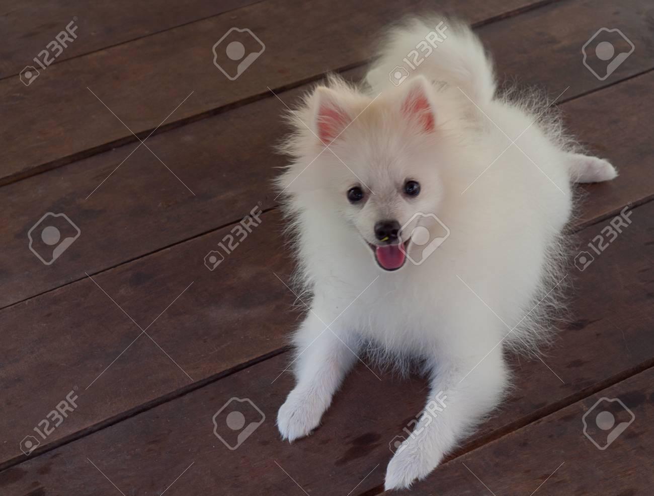 Dog Pomeranian Spitz Cute White Fluffy Beauty In Nature Stock