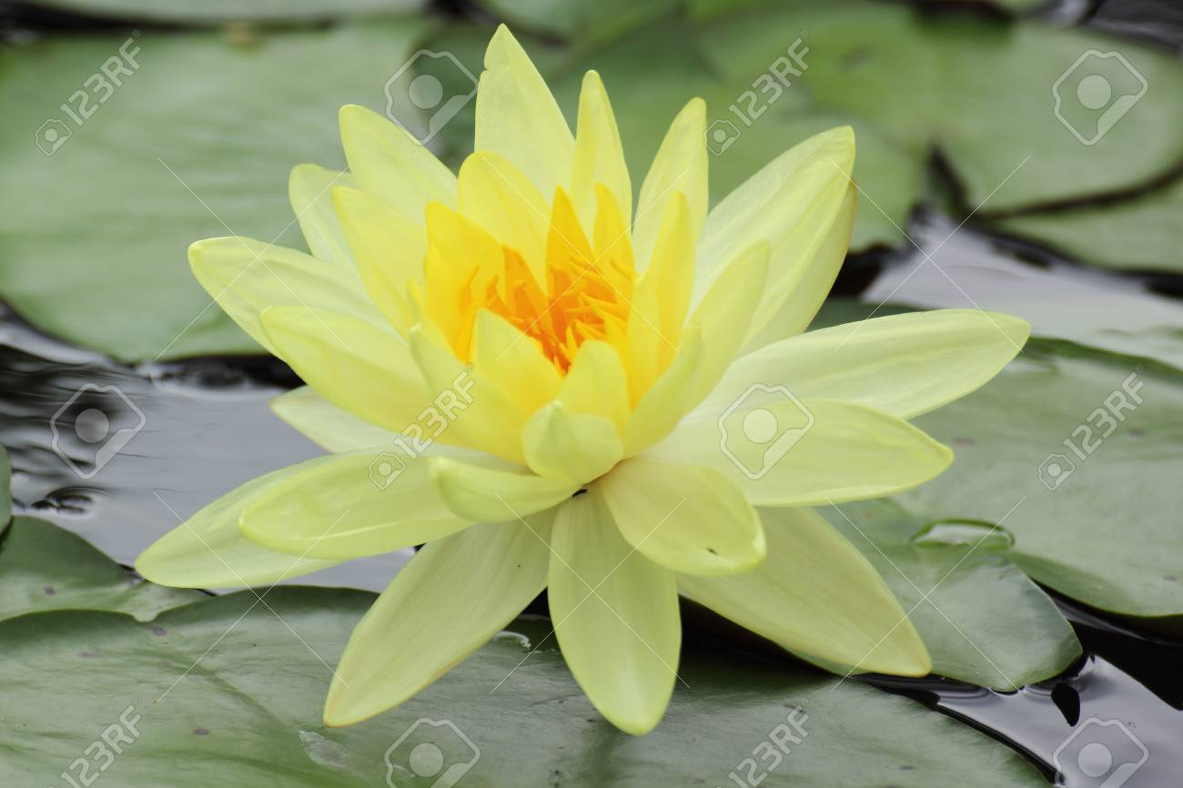 Close Up Of Beautiful Yellow Lotus Blossom Stock Photo Picture And