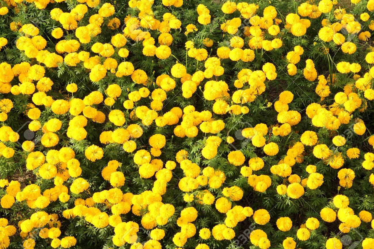 Marigold flowers in the garden Top view focus