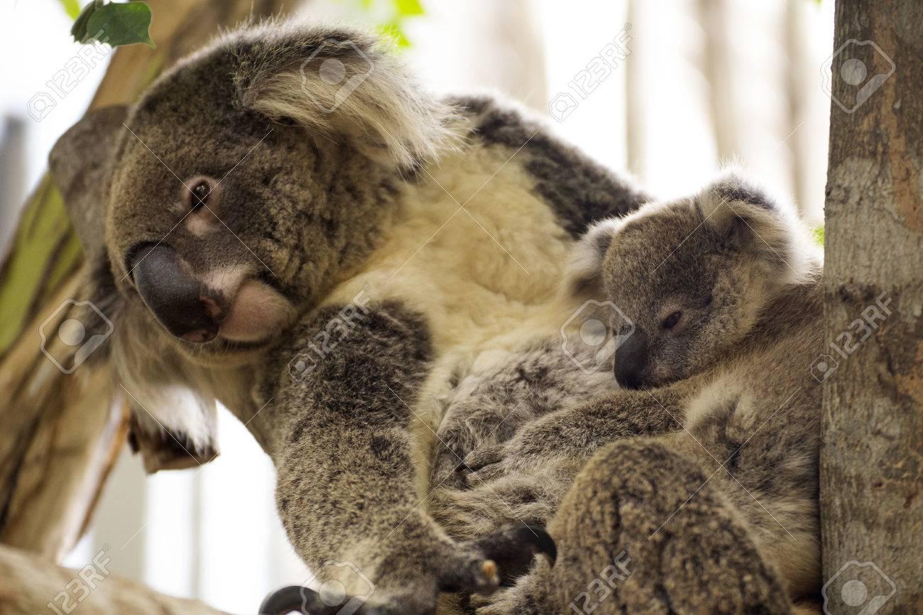 ブランチで赤ちゃんと一緒に寝ているコアラ